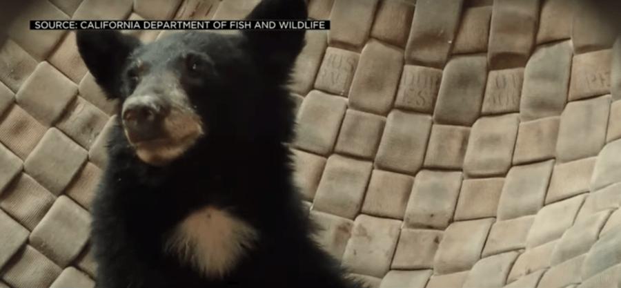 Sick Bear Cub