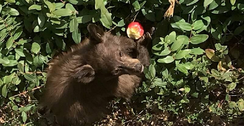Sick Bear In Bushes