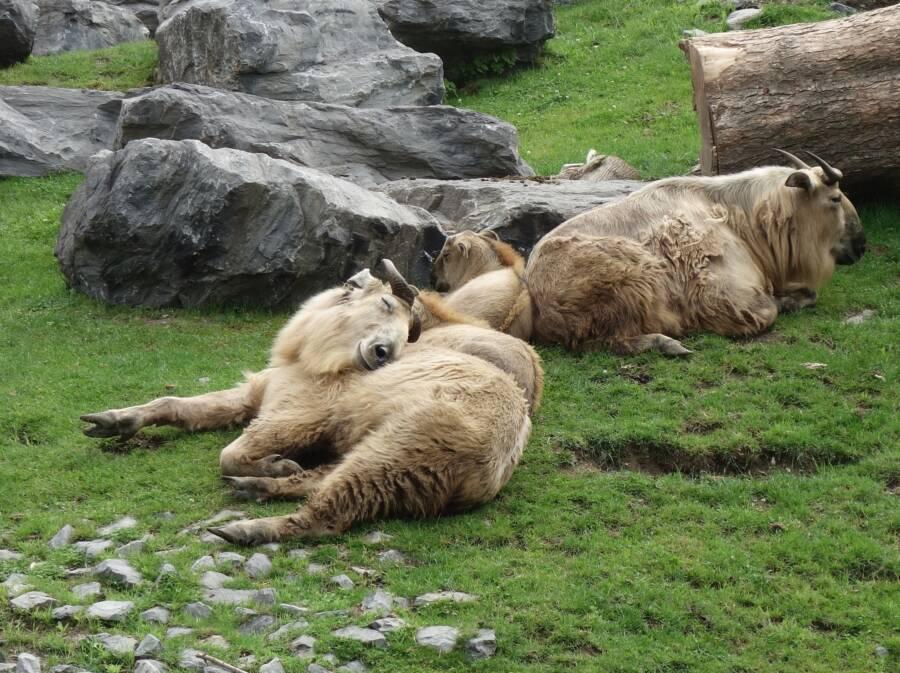 Takin Lying On Mountainside