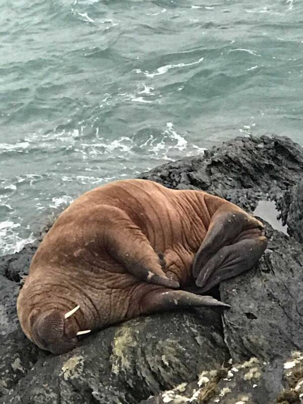 Walrus Sleeping On Beach
