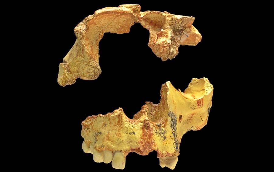 Boy Of Gran Dolina Skull