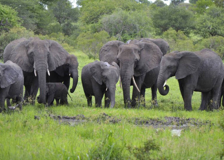 Suspected Rhino Poacher Trampled To Death By Stampeding Elephants general chat room details picture