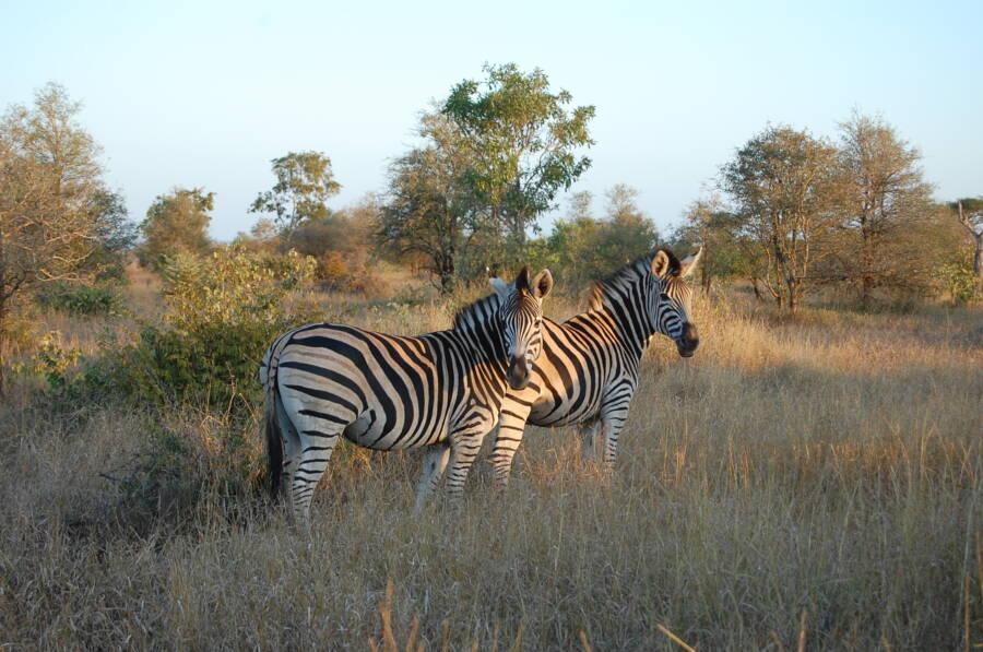Zebra Kruger National Park