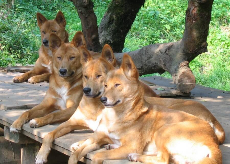 Dingoes In Australian