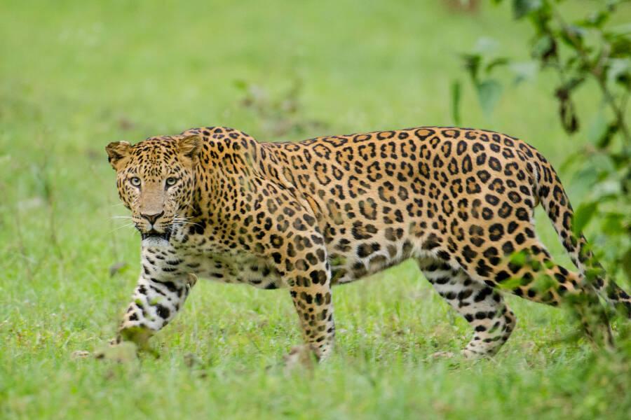 Leopard Walking Around