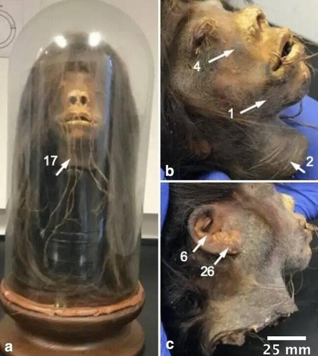 Study Of The Shrunken Head
