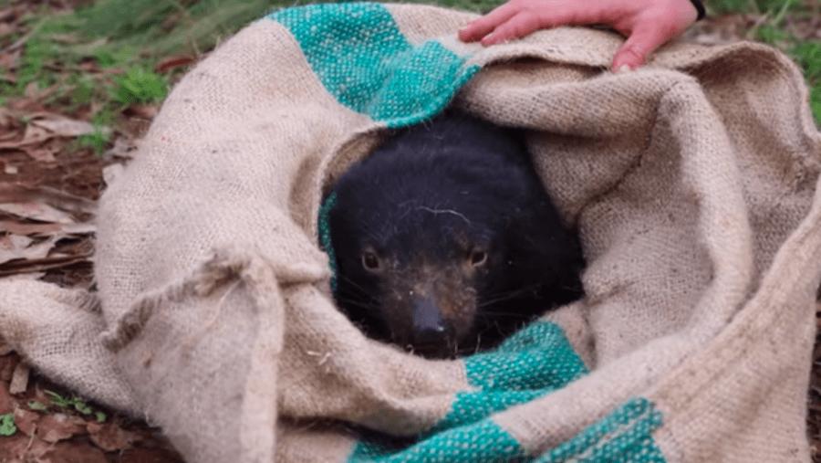 Tasmanian Devil In Wild
