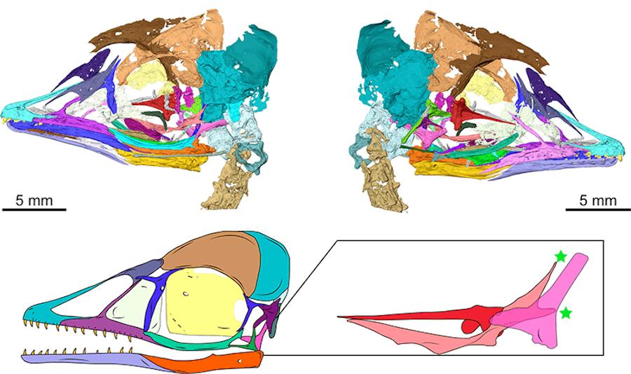 Digital Reconstruction Of Tiny Dinosaur Bird Skull