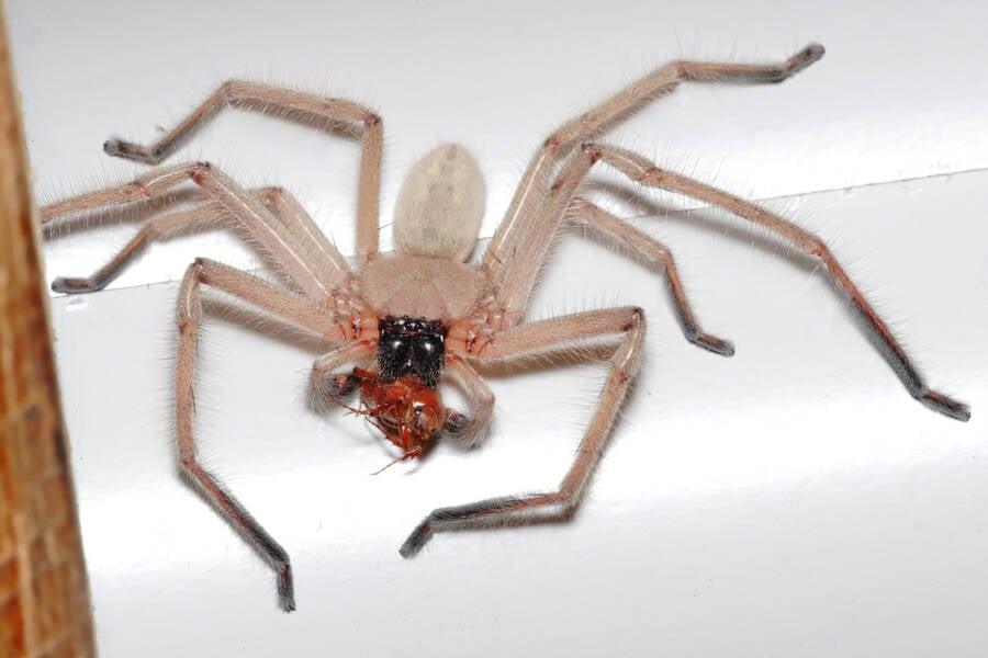 Huntsman Spider Eating