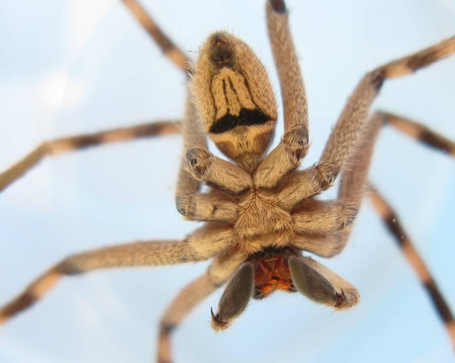 Huntsman Spider From Below