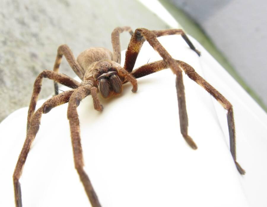 Huntsman Spider On White Surface