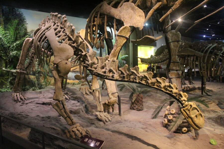 Shunosaurus Fossil Skeleton