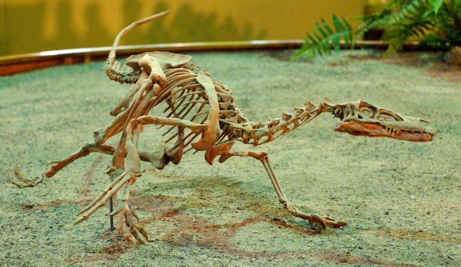 Velociraptor Cast On Display