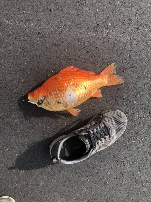 Goldfish And Shoe