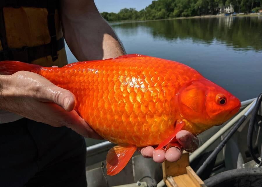 Holding Giant Goldfish
