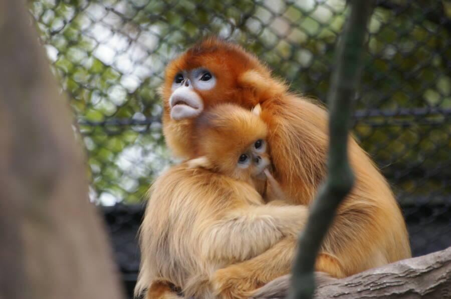 Two Golden Snub Nosed Monkeys