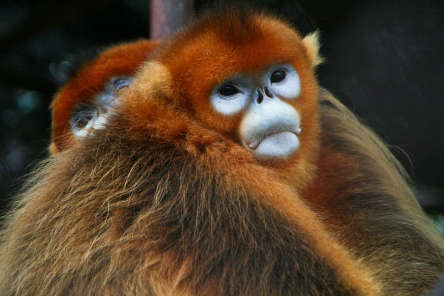 Golden Snub Nosed Monkey Pictures