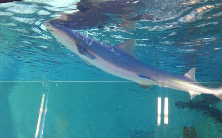 Smoothhound Shark Virgin Nascimento