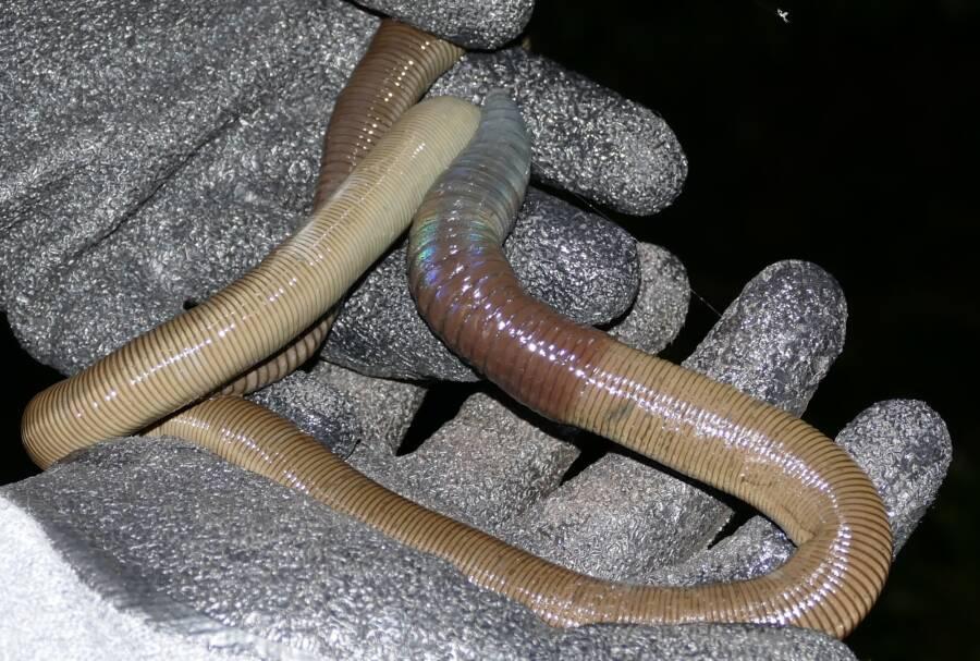 Brown Giant Earthworm