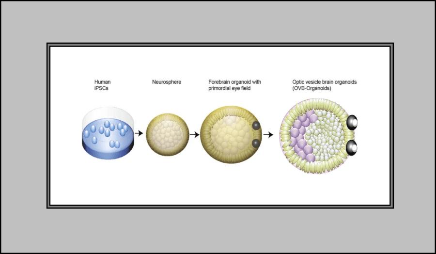 Desenvolvimento dos olhos organoides do cérebro