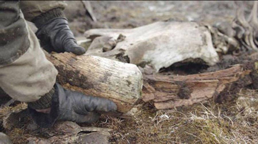 Kotelny Island Woolly Mammoth Bones