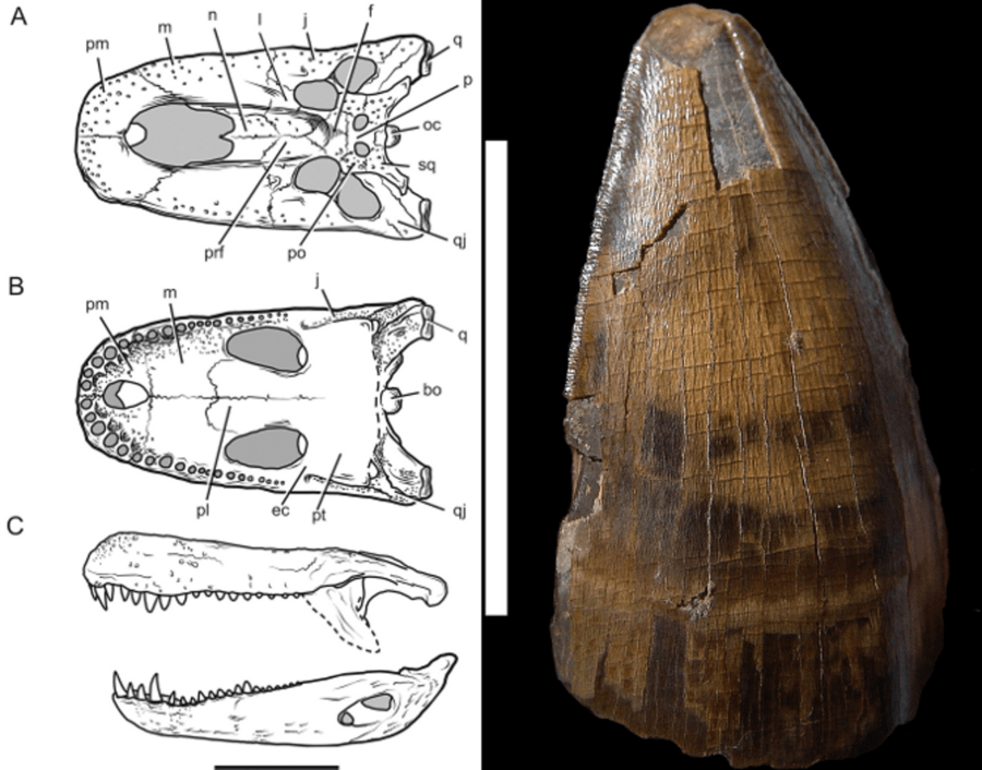 Purussaurus Skull Anatomy And Tooth