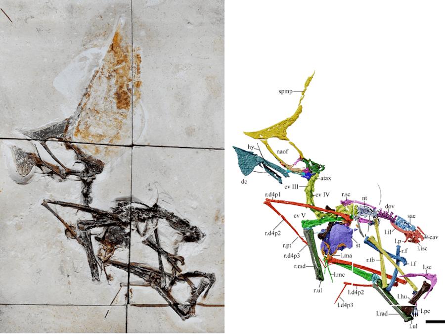Tupandactylus Navigating Fossil And Scan