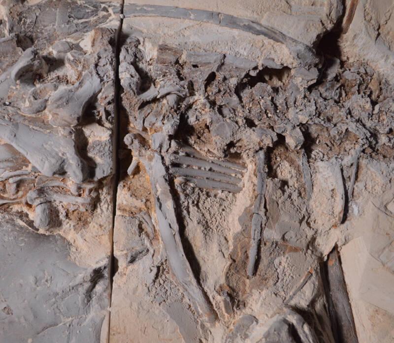 Vela tupandactylus em pedra calcária