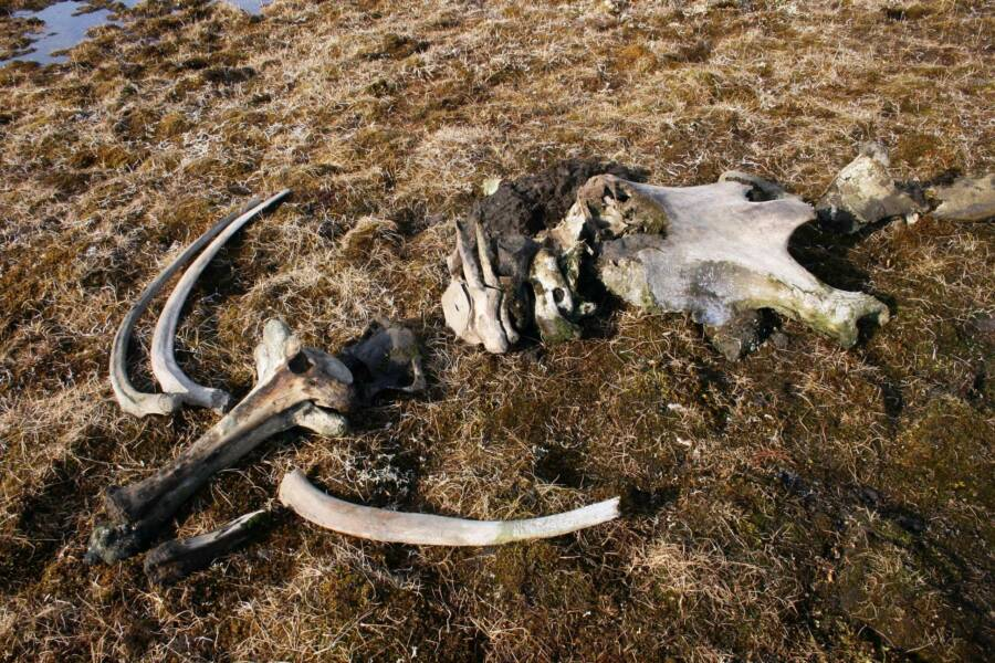 Woolly Mammoth Remains