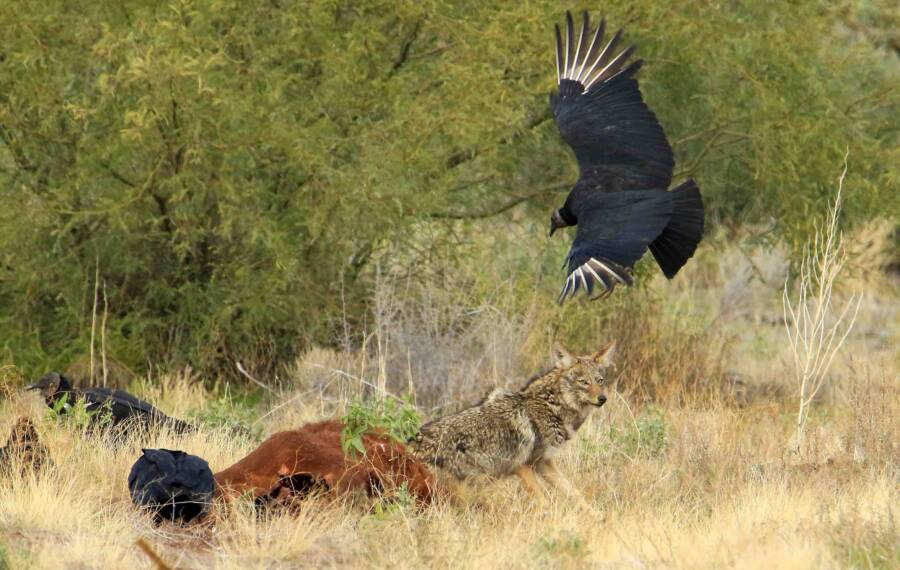 Black Vulture And Cow