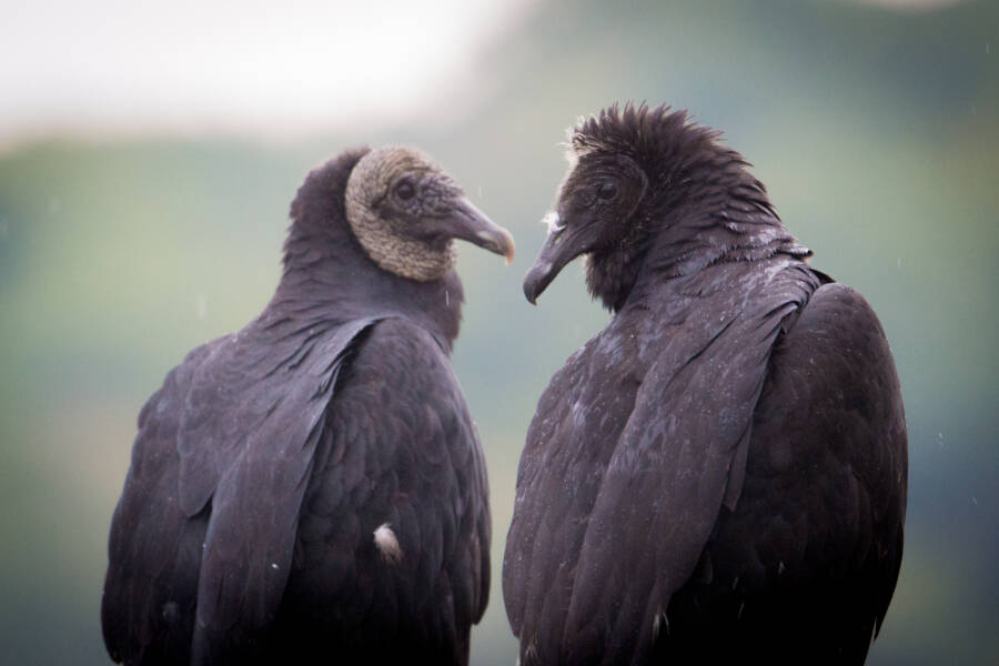 Two Black Vultures Perching
