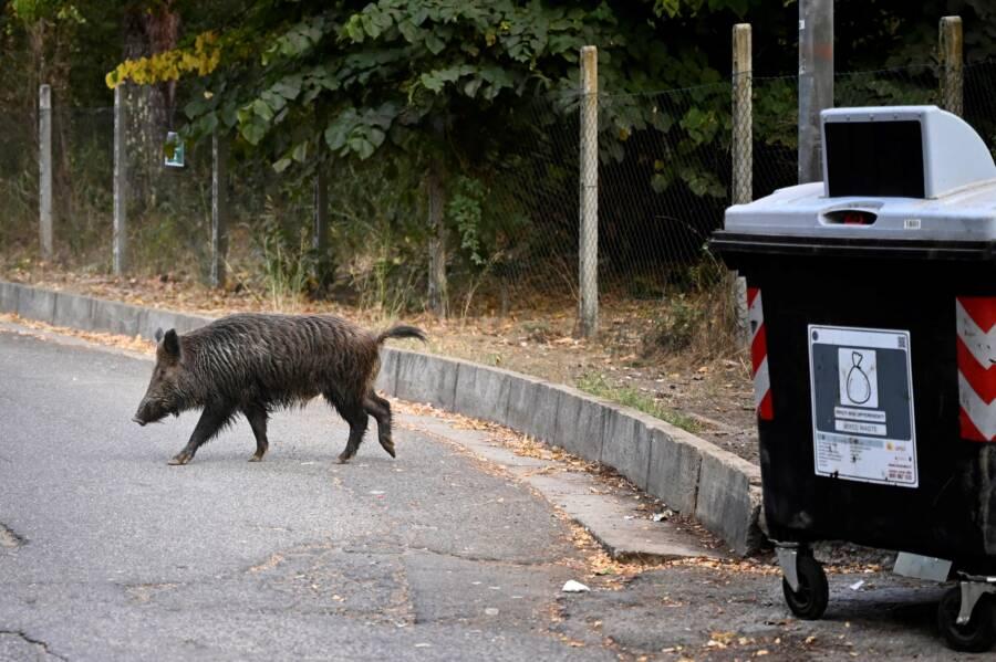 Wild Boar In Rome Near Garbage