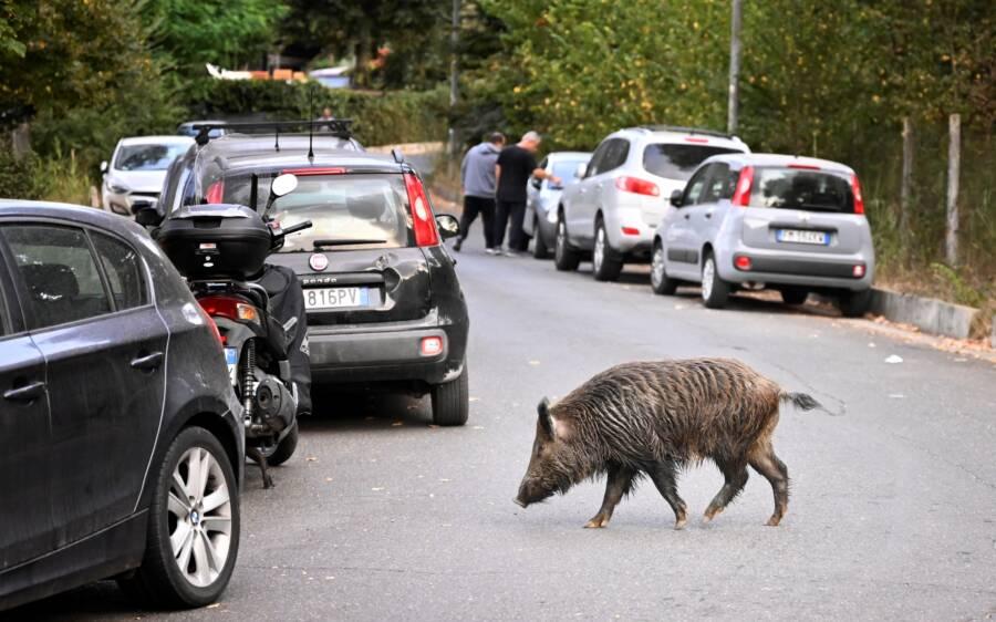 Wild Boar In Rome