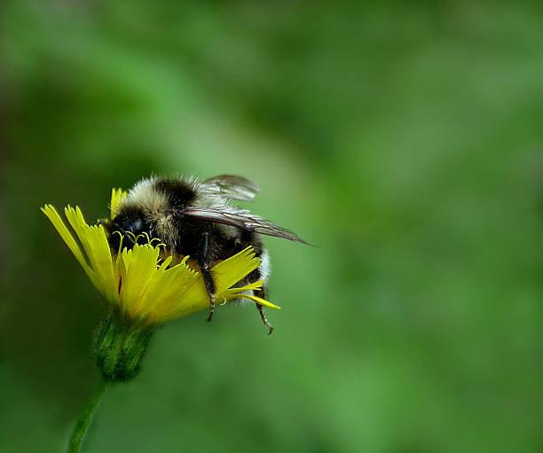 American Bumblebee Asleep In Flower