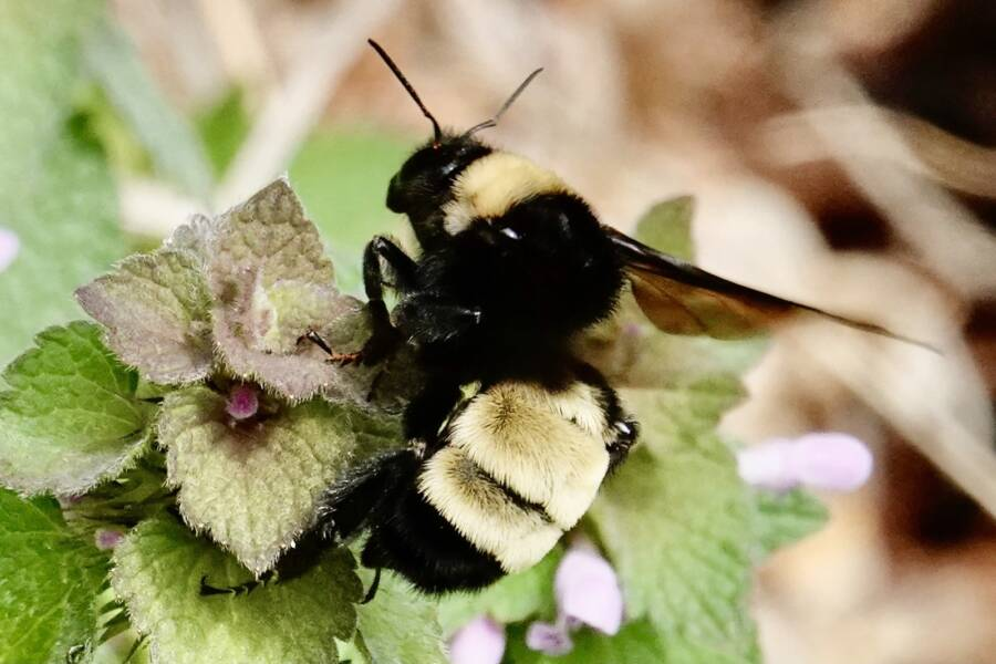 American Bumblebee Pollinating A Plant