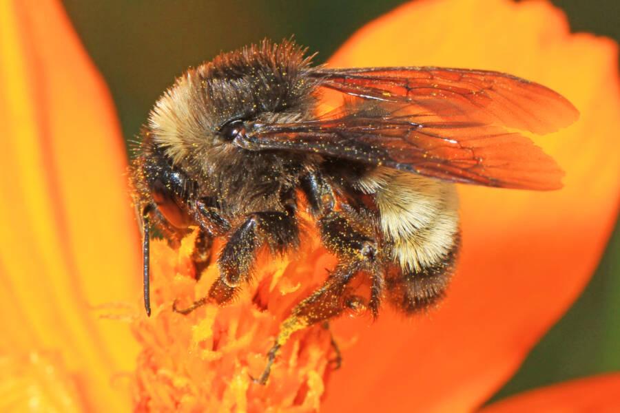 American Bumblebee Pollinating Orange Flower