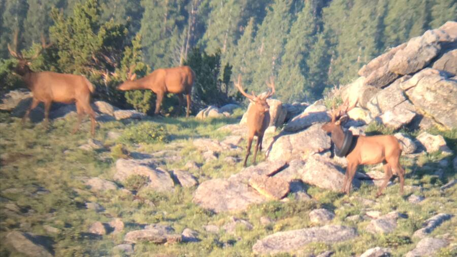 Colorado Bull Elk With Tire Around Neck