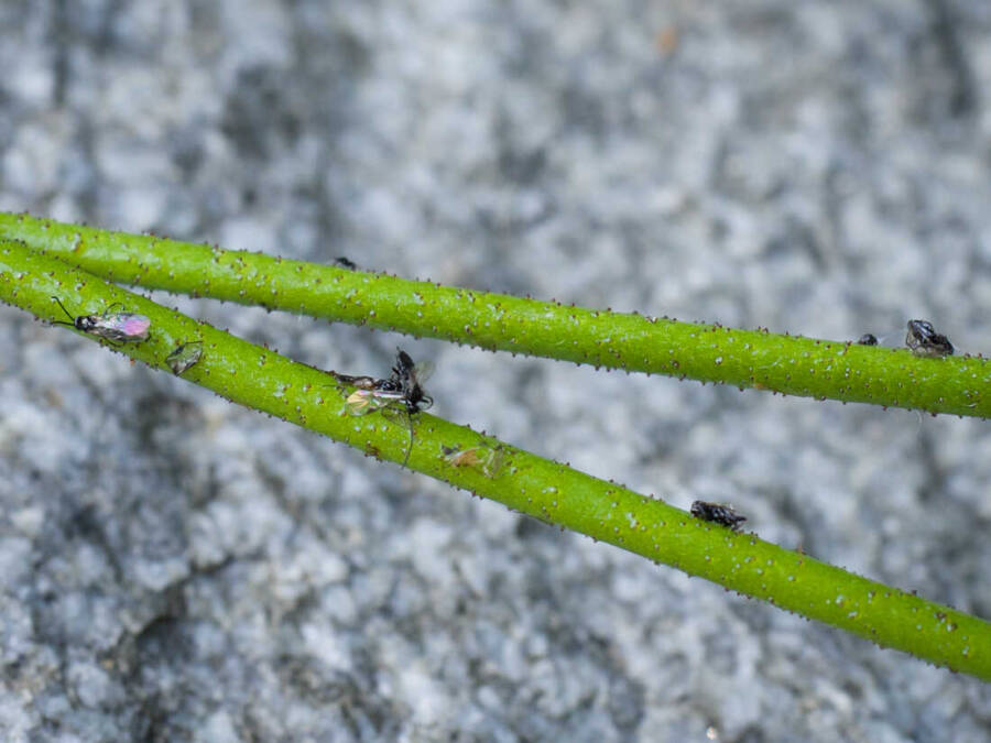 Flies On Stem Of Western False Asphodel