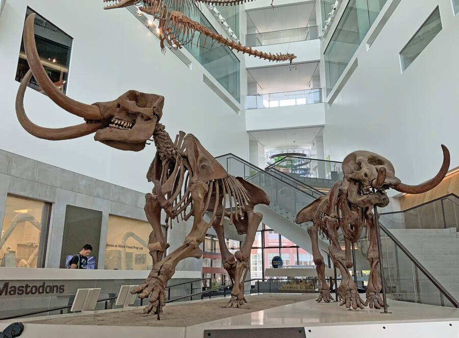 Mastodon Skeletons