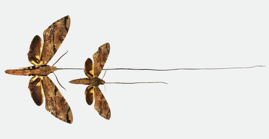 Wallaces Sphinx Moth